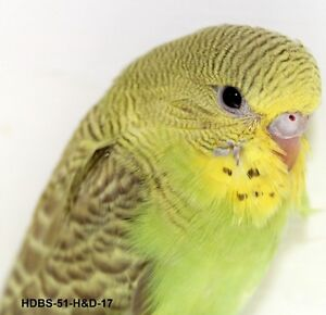Baby budgies for sale hand tamed