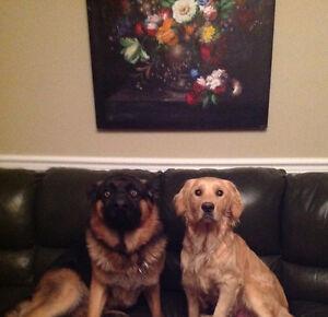 German shepherd & Golden retriever puppies for sale