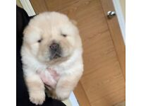 Stunning chow chow puppies KC Registered