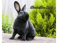 Beautiful pedigree mini rex doe