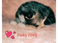 Fluffy playfull kittens