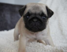 *** Premium Quality KC Registered Pug Puppies ***