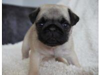 *** Premium Quality KC Registered Pug Puppies ***