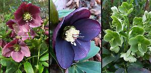 3x Hellebores Helleborus Plum Violet Green Hardy Perennial plants Shade 9cm pots