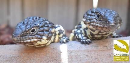 EOI baby shingleback lizard