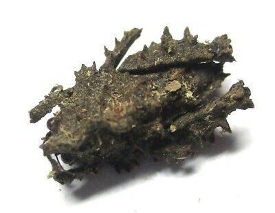 F011 Mi : AG : Misythus echinatus 13.5mm