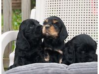 Show type Cocker Spaniel puppies for sale