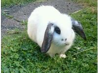 Mini Lop Rabbit - Buck