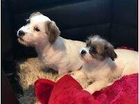 Jack Russell X Shih tzu puppies 15 weeks