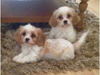 Stunning cavachon puppies,