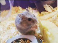 Russian Dwarf hamster for sale