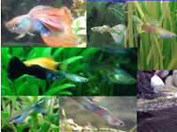 Guppies fish HEALTHY / BLUE / RAINBOW colors - from 20p