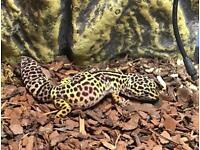 Leopard Gecko with new viv and all accessories