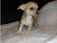 Chihuahua Puppies for sale. Ready To Go.