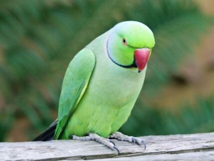 Wanted: Wanting An Indian Ringneck Brisbane City Brisbane North West Preview