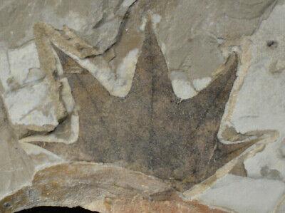 Leaf Fossil Platanus wyomingensis Green River Formation Bonanza Utah