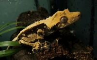 Northern Gecko Male Crested Gecko