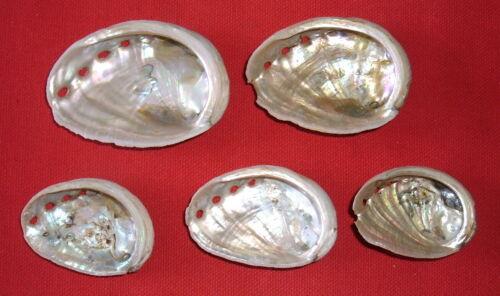(5) Baby Abalone Shells, Beading, Art, Design, Decoration, Seashell Collections