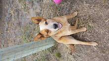 Male Red Heeler Puppy (1 Year Old) Lewisham Sorell Area Preview