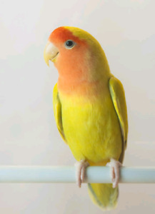 One young love bird, pure yellow.