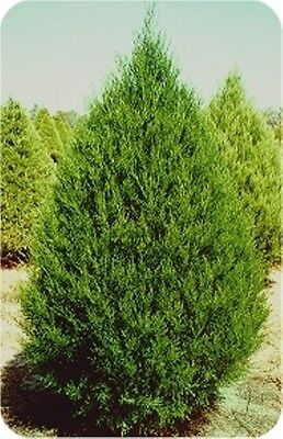 EASTERN RED CEDAR, Juniperus virginiana, 25 tree ...