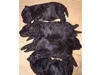 Kc Registered Hungarian Puli Puppies