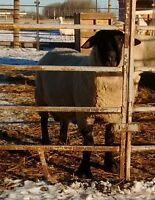 """Complete Wool Sheep Flock Dispersal """"TRADE FOR GOATS"""""""