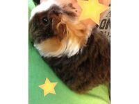 Rare cross guinea pig baby with cage & accessories