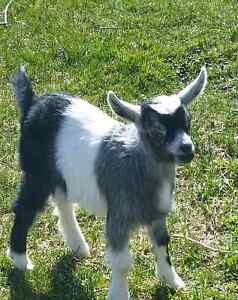 Female Pygmy Goat For Sale