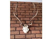 Genuine set of Antique Stag Antlers