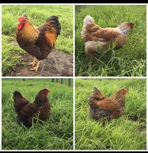 Blue laced gold Wyandotte fertile eggs Nyora South Gippsland Preview