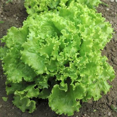 Green Salad Bowl Loose Leaf Lettuce 600 - 16,000 Seeds AAS Heirloom (Leaf Lettuce)