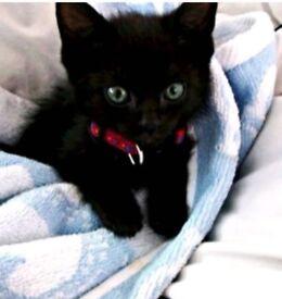 Stratford london Black female 10 week old kitten, and 1 female white an black kitten