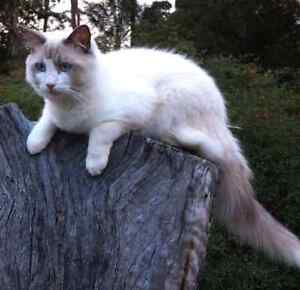 Lost ragdool cat only 1 year old in cleveland Capalaba West Brisbane South East Preview