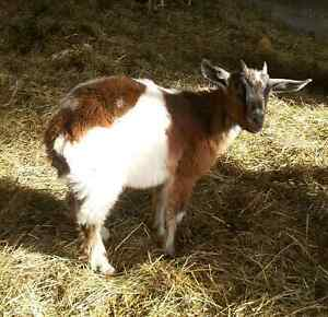 Kinder Goats Make GREAT Weed-Eaters!