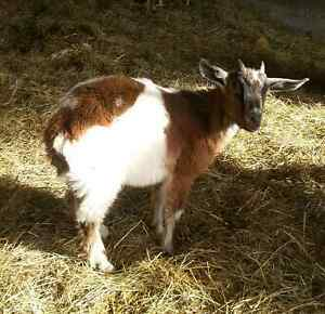 Kinder Goats Make GREAT Weed Eaters!