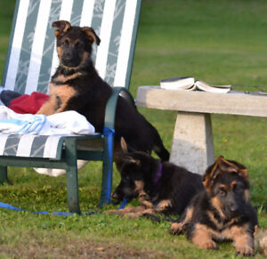 TRAINED, SOCIALIZED, CKC GERMAN SHEPHERD PUPPIES, 5 YR GUARANTEE