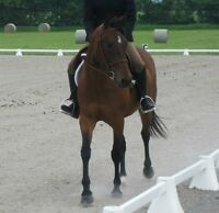 7 Year Old Sport Pony Mare Must Go ASAP