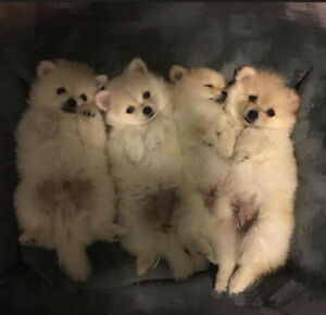 Beautiful Pomeranians