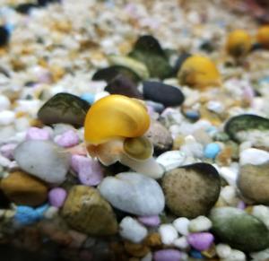 Gold Mystery Snails