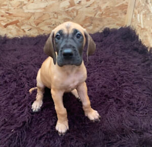 Great Dane female puppy