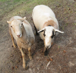 Two St.Croix mixed lambs for sale
