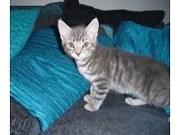 Britsh shorthaired blue tabby x ready now
