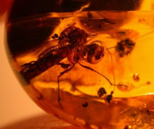 Bloated Mycetophilid Fly with Mushroom? in Authentic Dominican Amber Fossil