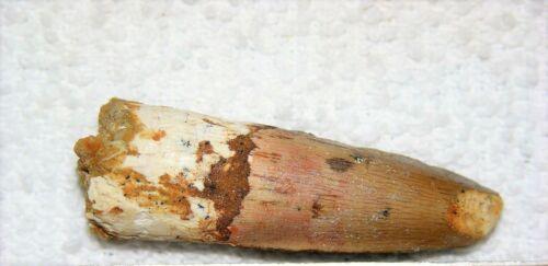 SPINOSAURUS TOOTH DINOSAUR TEETH REAL BONE FOSSIL EXTINCT RARE RELIC SPINOSAUR