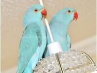 Baby Blue Ring neck talking parrots
