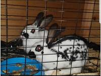 English rabbit pair with single solid hutch