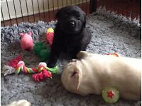Beautiful yellow and black K.C. Registered Labrador Puppies.