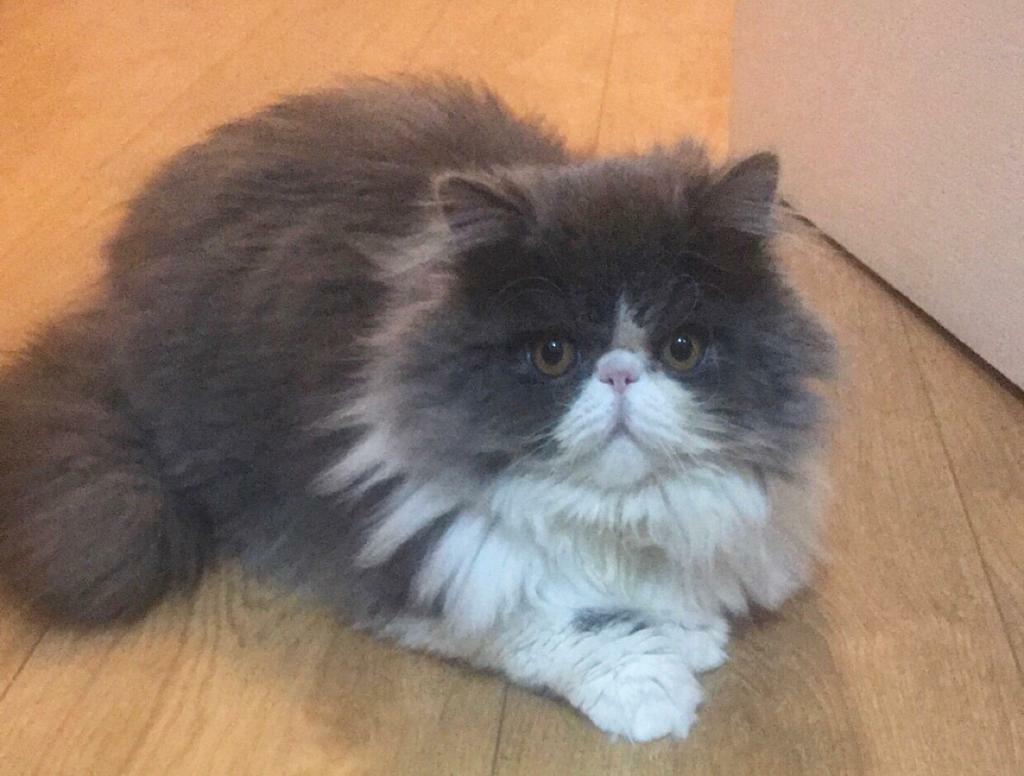Stunning Persian cat for sale! | in East Renfrewshire | Gumtree