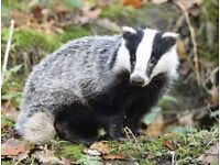 Looking For a Badger